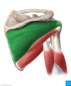 Einzelansicht von Muskeln via Kenhub - Anatomie online lernen