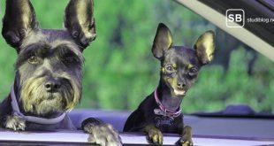 Zwei kleine Hunde schauen eine aus einem Autofenster heraus an - ein Bild der Freundschaft.