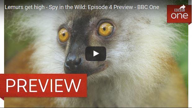 Titelbild zum Tiervideo in welchem sich Lemuren mit dem Gift eines Tausendfüssers die volle Drogendröhnung geben.