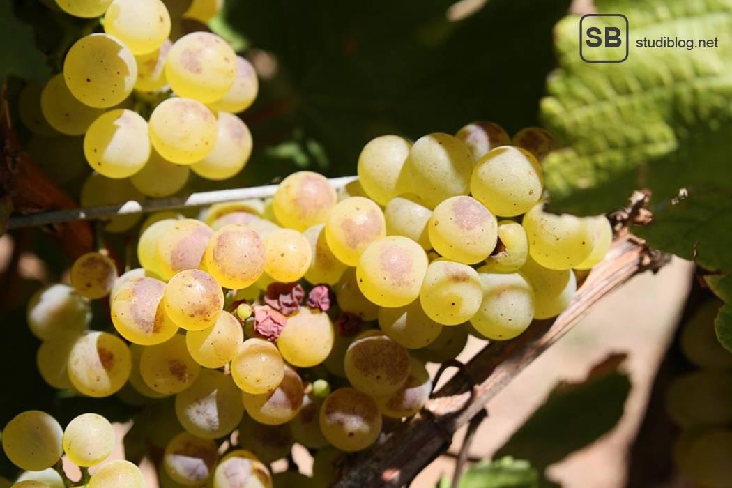 Artikelbild mit Weintrauben aus Malta, Weingut Tamena