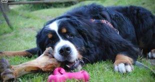 Mein sensibler Hund mit der gelben Schleife - Hund liegt im Rasen, vor ihm ein rosa Knochen