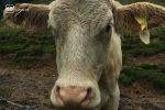 Auch bei Regen verbringen die Kühe die Nacht auf den Weiden.