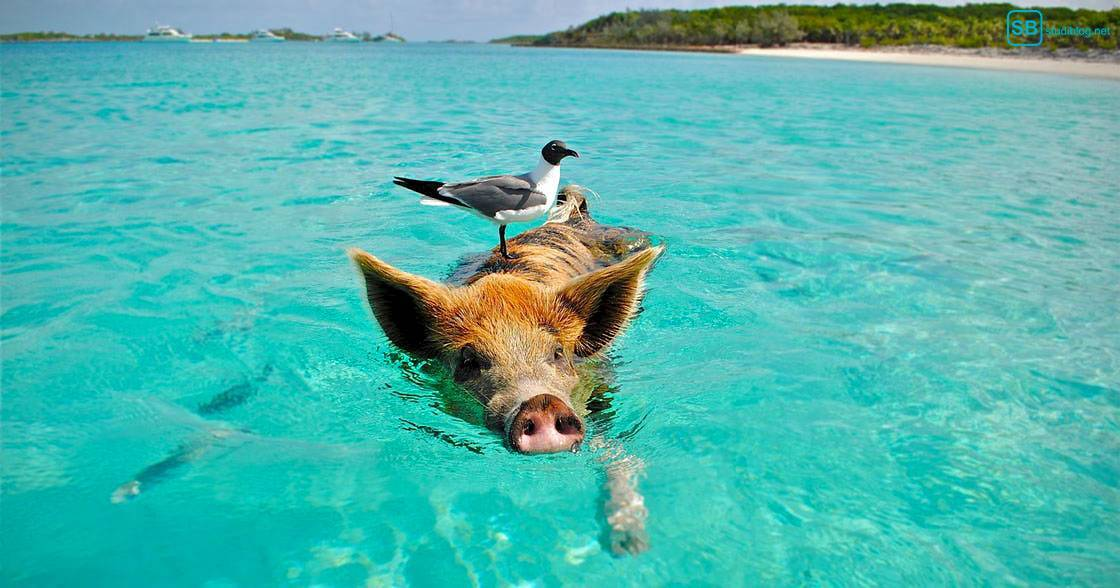 Guide für gestrandete Studenten: Vogel reitet auf schwimmendem Schwein im Meer vor einer Insel