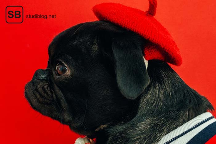Mops mit schwarzem Fell und roter Baskenmütze vor rotem Hintergrund im Profil - Sprüchesammlung zum Lachen übers Studentenleben.