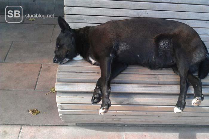 Hund liegt schlafend auf einer Bank aus natürlichem Holz