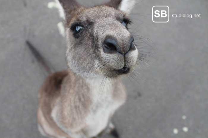 Känguru in Down Under